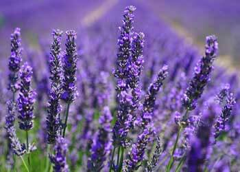 Herbal Healing - A Powerful Plant Medicine - Lavender